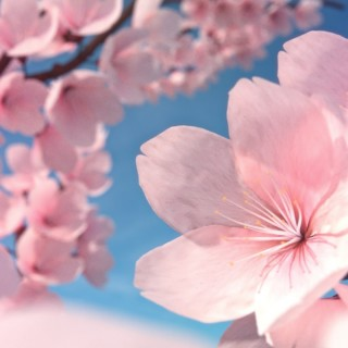 How to Make Cherry Blossoms in Blender